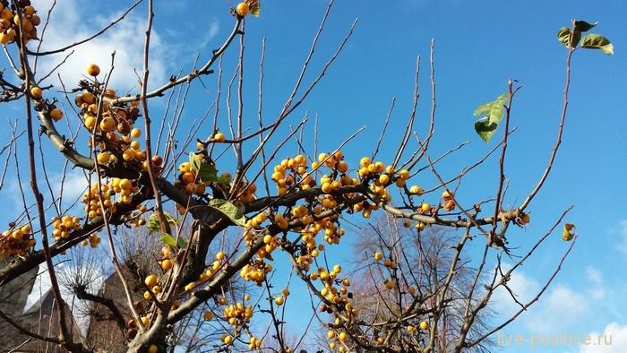 ягоды желтые