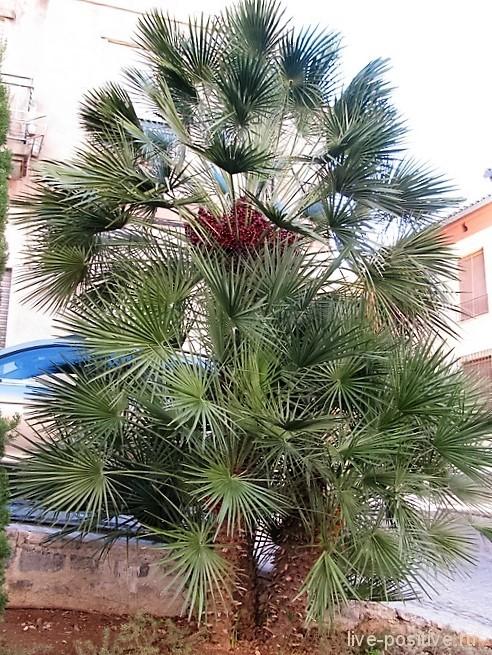 Еще одна финиковая пальма